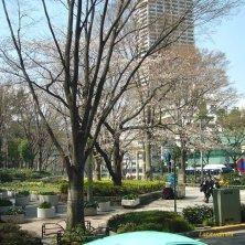 ciliegio a Tokyo