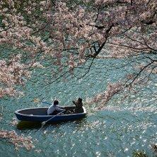 ciliegi in barca a Tokyo