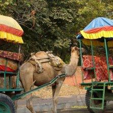 cammello in attesa