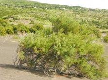 arbusti cresciuti sulla cenere