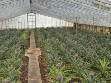 serra di ananas