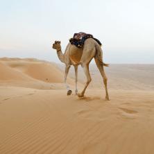 Ash Sharqiyah - Camel in the desert, Sharqiyah Sands, Ash Sharqiyah, Oman