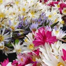 fiori di loto per offerte