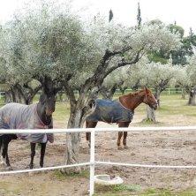 cavalli nell'uliveto