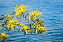 mimosa e mare