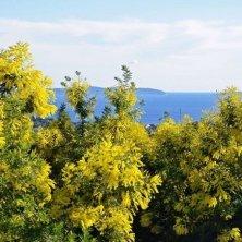 sulla strada della mimosa