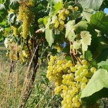 Uve Chardonnay - Val d'Ossola - Azienda Agricola Ca' da l'Era - Ossola in Cantina