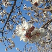 albiccocco in fiore