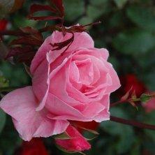 Molde rose