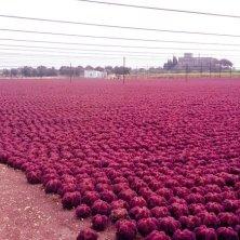 coltivazioni di carote