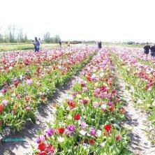 nel campo dei tulipani da raccogliere