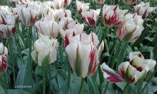 tulipani bianchi e rossi fiammingo
