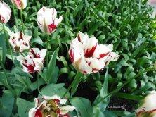 tulipani bianchi screziati