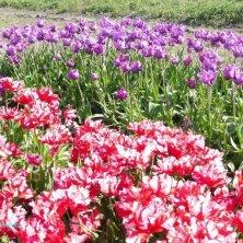 tulipani da raccogliere