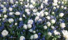 tulipani e muscari