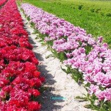 tulipani fioriti da Annemieke