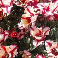 tulipani nella regione dei fiori vicino Amsterdam
