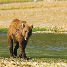 A brown bear in Katmai National Park foto di Michael DeYoung Alaska (1)