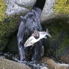 black_bear salmon dinner by Mark Kelley