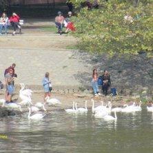 cigni in riva alla Moldava Praga