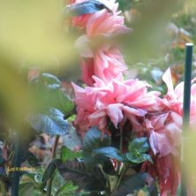 fiori al giardino del castello Quedlinburg