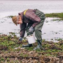 raccogliendo ostriche