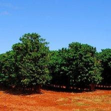 piantagione di caffè delle Hawaii