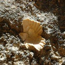 conchiglia fossile