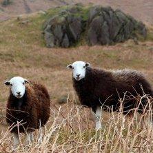 pecore al Lake District
