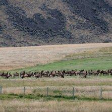 Elk herd, Paradise Valley