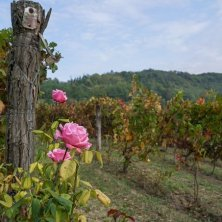 Rosa a fine filare Monferrato valle Ghenza CR S. Gazzolapg vendemmia