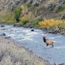 Bull elk crossing Gardner River