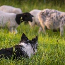 cane da pastore Wild Atlantic Way