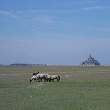 pecore a Mont Saint Michel