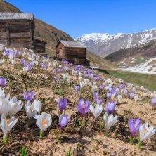 Paesaggi_Livigno_Vallaccia_crochi primavera in Valtellina