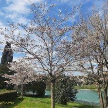 ciliegi in fiore al laghetto dell'Eur