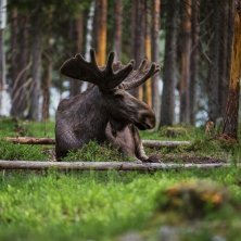 Alce_Heart of Lapland_foto Hooké Lapponia svedese