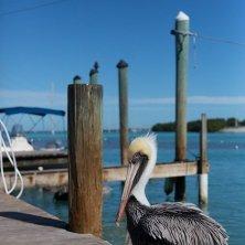 pellicano a Key West
