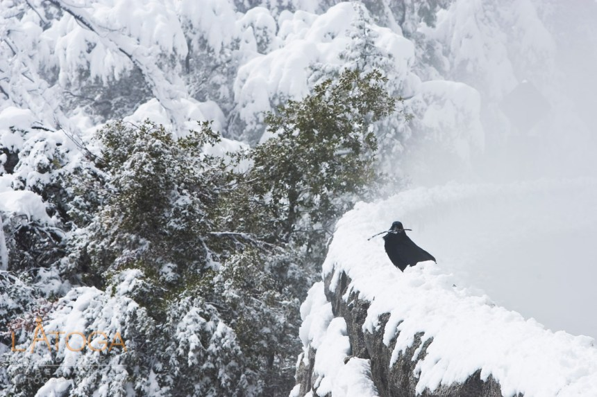 Raven carrying a branch in his beak perches on snow covered rock wall at Valley View pullout in Yosemite National Park.