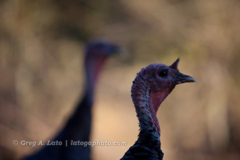 Turkey Shoot...No Flash