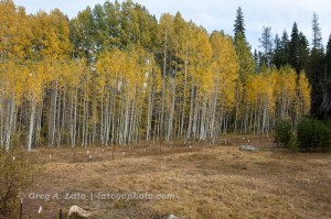 Bucks Lake Road Aspen Grove (2010)