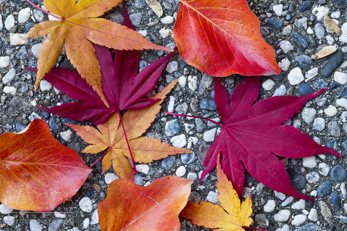 Closeup of colorful autumn leaves of Flowering Pear and Japanese Maple trees lying on a pebble sidewalk.