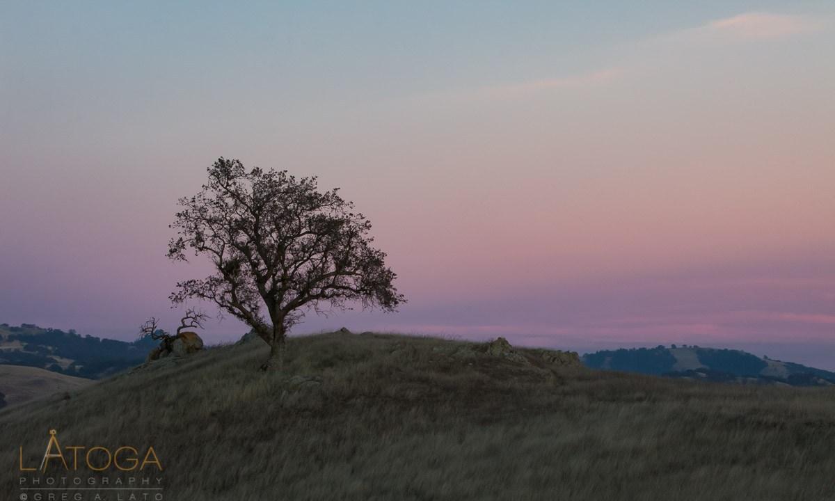 Oak Tree on hillside at Twilight