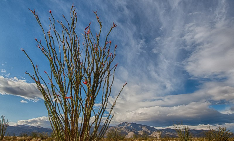 Desert Ocotillo in Bloom