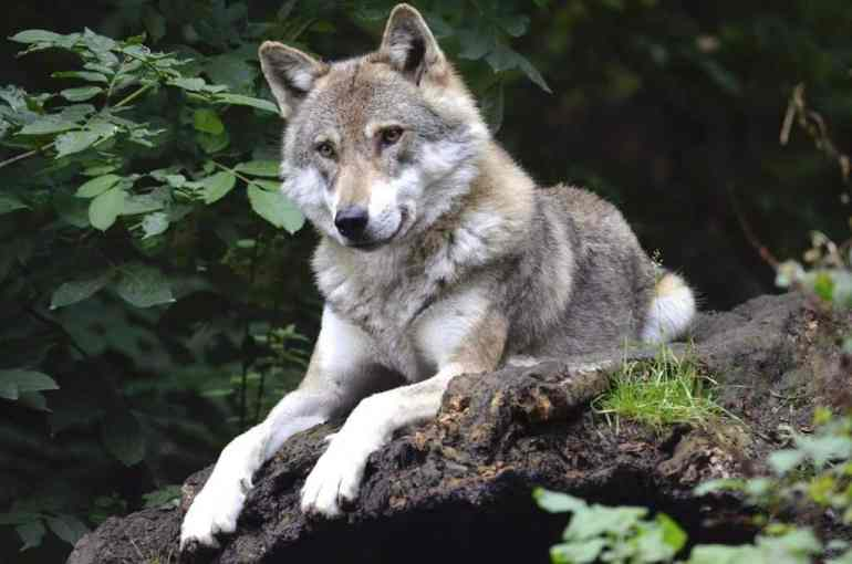 hilarious wolf puns to make you laugh it loud