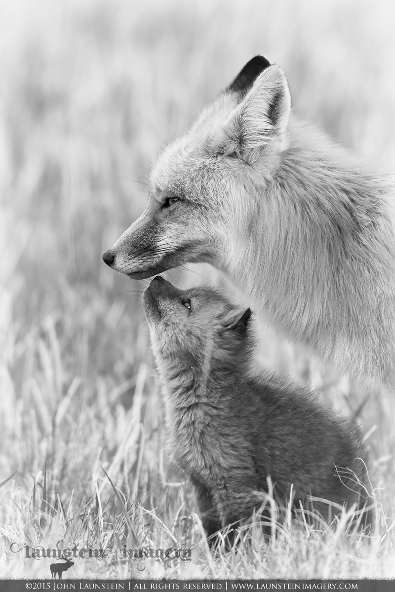 A red fox vixen and kit share a tender moment after nursing. Photographed in Waterton Lakes National Park, Alberta, Canada.