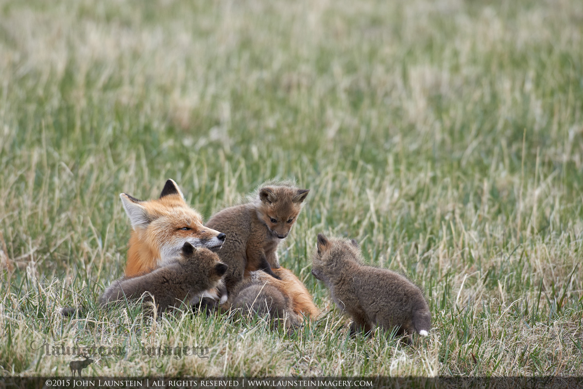 A red fox family enjoys some playtime together in Waterton Lakes National Park, Alberta, Canada.