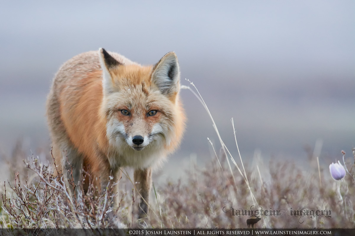 A red fox vixen looks up after deciding the movement she caught in the grass wasn't a meal to be had. Photographed in Waterton Lakes National Park, Alberta, Canada.