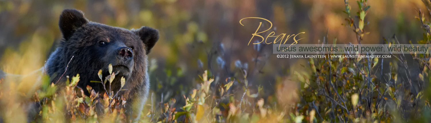 Images of Black Bears and Grizzly Bears by the Launstein Family
