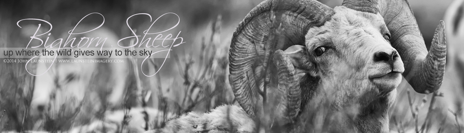 Images of Bighorn Sheep by the Launstein Family